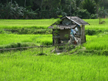 house in rice field